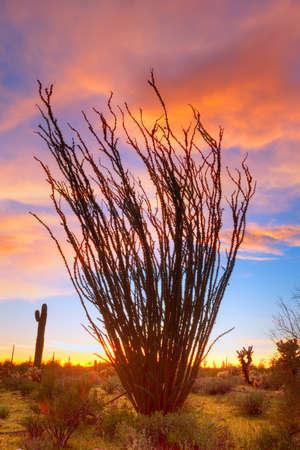 ocotillo: Flaming Ocotillo with burning sky
