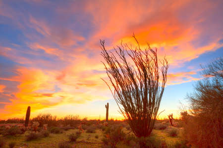 desert ecosystem: Flaming Ocotillo with burning sky