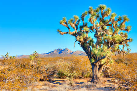 desert ecosystem: Joshua Tree catching  day Stock Photo