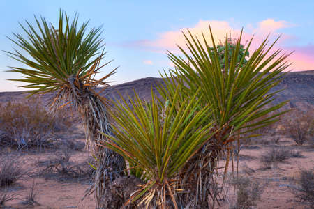 desert ecosystem: Blooming Yucca in Mojave Desert at sunrise  Stock Photo