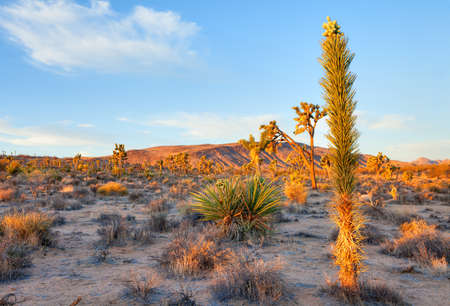 plantas del desierto: Blooming Yuca en el desierto de Mojave captura día