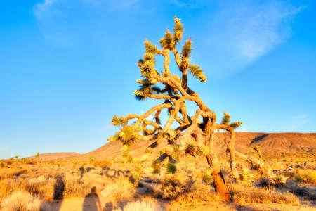 desert ecosystem: Blooming Joshua Tree in Mojave Desert at sunrise