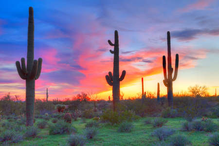 Saguaros at sunset, with blood red sky  Stock Photo