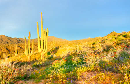 desert ecosystem: Saguaros and Blooming Desert near Bartlett Lake, bathing in days first light