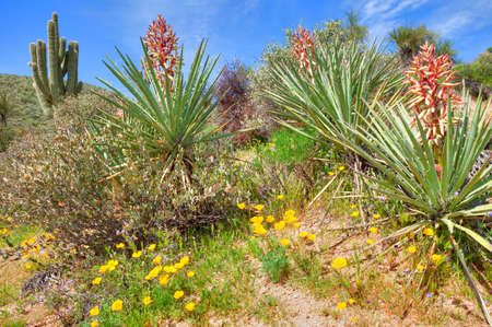 desert ecosystem: Blooming Yuccas and Gold Poppies in Sonoran Desert