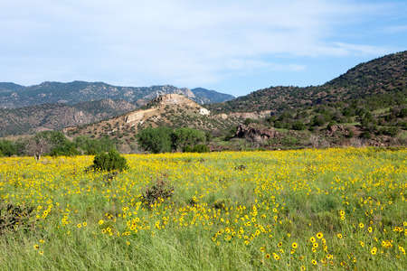 plateau of flowers: Wild sunflowers in Colorado