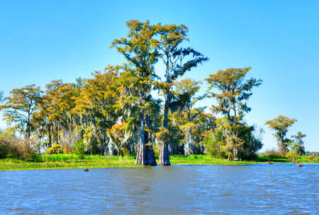 swamp: Cypress Trees in Atchafalaya Basin, turning golden in fall.