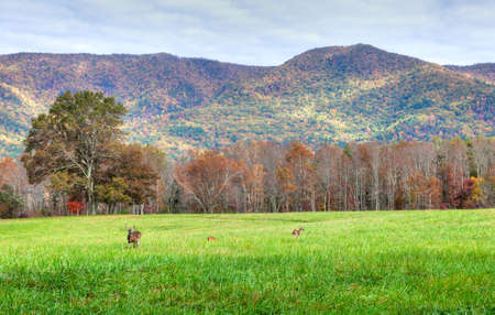 appalachian mountains: A view of Cades Cove and the Smokey Mountains with deers in meadow.