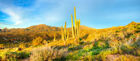 desert ecosystem: Saguaros catching days first sunrays. Stock Photo