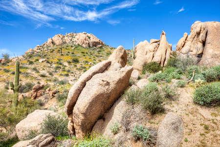 Saguaro and boulders in blooming Sonoran Desert.
