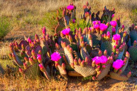 desert vegetation: Blooming Prickly Pear Cactus in Sonoran Desert. Stock Photo