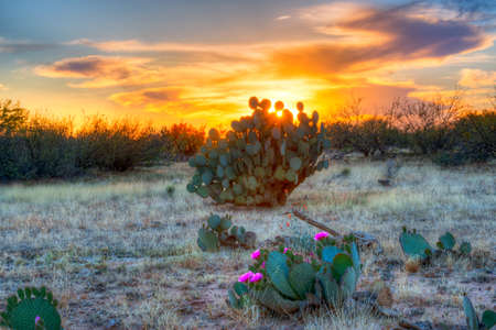 desert vegetation: Days last rays reaching for blooming Prickly Pear Cactus.