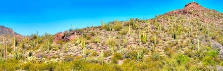 creosote: Organ Pipe Cacti mingling with Saguaros, in Organ Pipe Cactus National Monument. Stock Photo