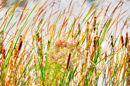 Cattails and Reeds in wind