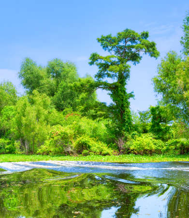 sycamore: Atchafalaya River Basin, with Cypress trees  Stock Photo