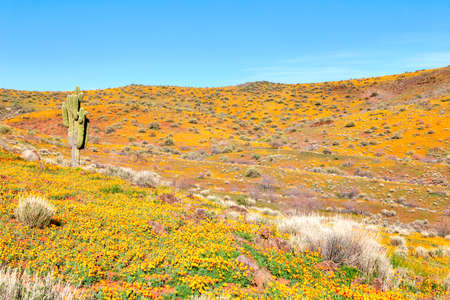 desert ecosystem: Hills covered with Gold Poppies in Arizona