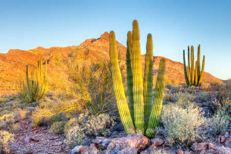 creosote: Young Organ Pipe Cactus basking in days first rays.