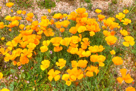 desert ecosystem: Patch of blooming Mexican Gold Poppies. Stock Photo