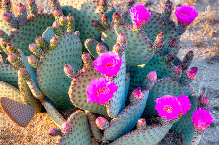 blooming. purple: Blooming Prickly Pear cactus in Sonoran Desert