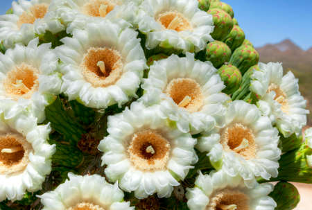 Saguaro flower in full bloom.