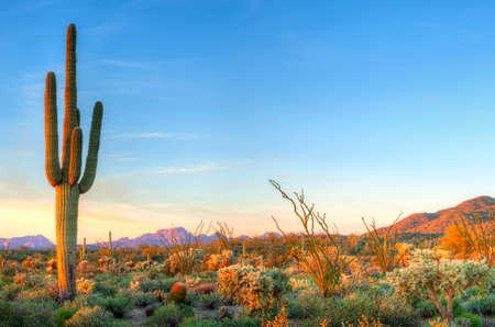 plantas del desierto: Sonoran Desert captura días últimos rayos.