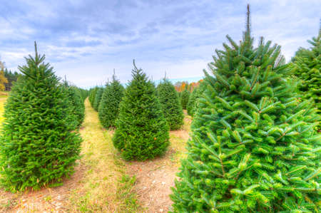 coniferous tree: Rows of Christmas trees on a farm.