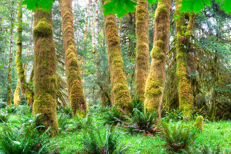 temperate: Trees covered in moss in a temperate Hoh Rain Forest, Olympic National Park, Washington, USA