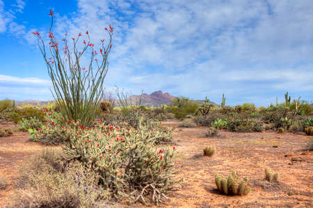 tonto national forest: Blooming Sonoran Desert.