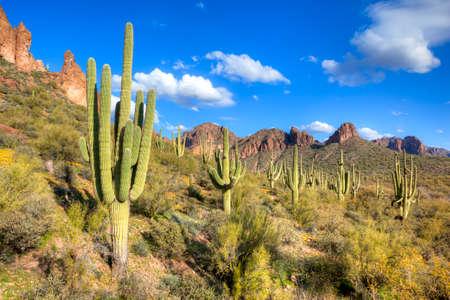 plantas del desierto: Saguaros en la barranca de Hewitt. Foto de archivo