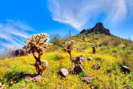 desert vegetation: Blooming Poppies at Picacho Peak State Park. Stock Photo