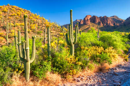 ocotillo: Blooming Saguaros and Palo Verdes in Hewitt Canyon. Stock Photo