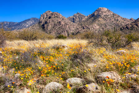tonto national forest: Blooming Poppies at  Catalina Mountains State Park.