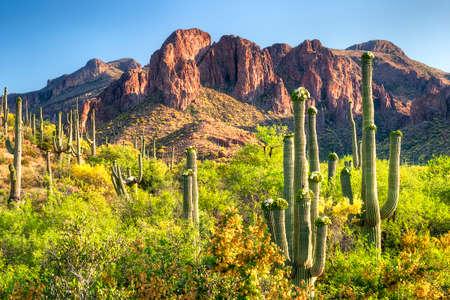 desert vegetation: Blooming Saguaros and Palo Verdes in Hewitt Canyon. Stock Photo