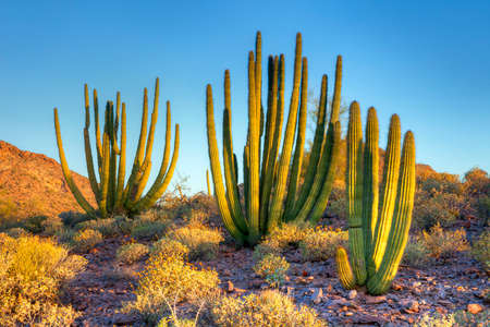 cholla cactus: Organ Pipe Cactus at sunrise. Stock Photo