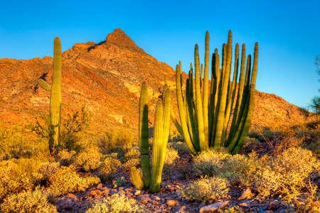 creosote: Organ Pipe Cactus at sunrise. Stock Photo
