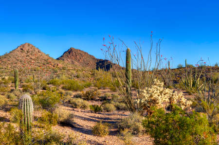 creosote: Organ Pipe Cactus National Monument. Stock Photo