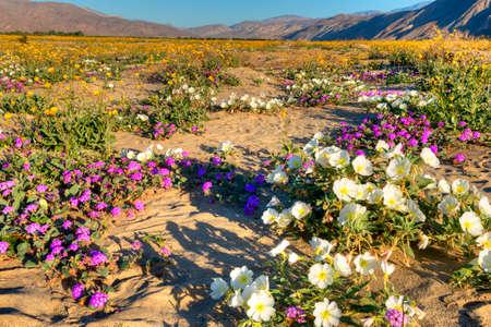 state park: Blooming Desert, near Borrego Springs. Stock Photo