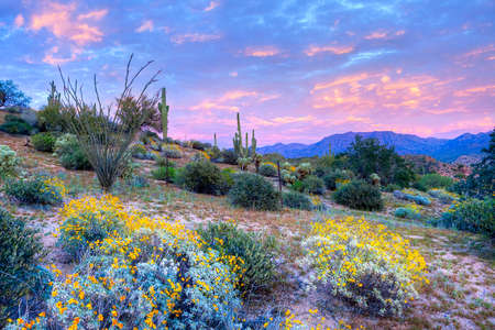 cholla cactus: Blooming Sonoran Desert at sunset. Stock Photo