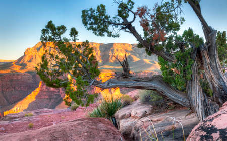 toroweap: Ironwood Tree at Toroweap Overlook on the north rim of the Grand Canyon National Park, Arizona.