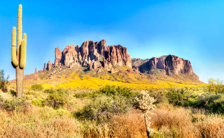 saguaro: Sonoran Desert, Saguaros, and blooming brittlebush in Superstition Wilderness. Stock Photo