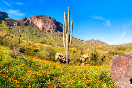 desert ecosystem: Blooming Poppies at Picacho Peak State Park. Stock Photo