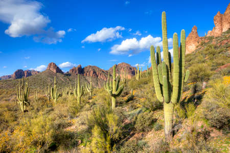 sonoran: Saguaros in Hewitt Canyon.