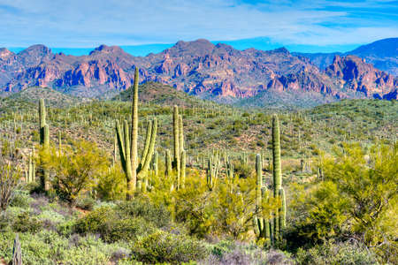 superstition: Hewitt Canyon with Saguaros in Superstition Wilderness.