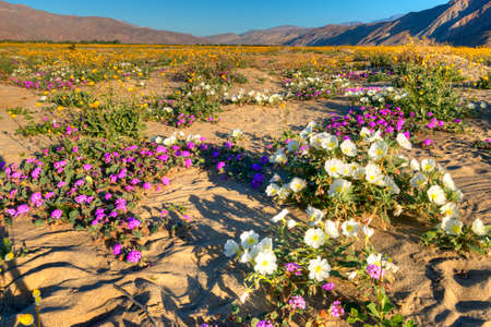 Very colorfull,  blooming Anza Borrego Desert in California. Stok Fotoğraf