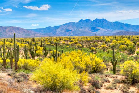 Blooming Palo Verdes y Saguaros en el Four Peaks pie colinas cerca de Phoenix, Arizona.