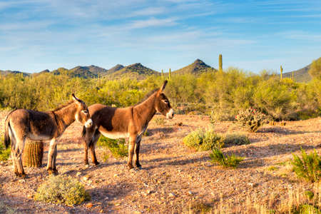 sonoran: Two wild burros in beautifull Sonoran Desert, waiting patiently for photographer to take their picture. Stock Photo