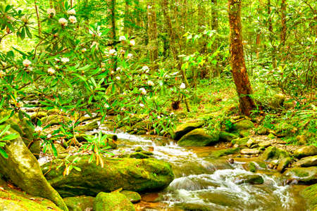 tn  tennessee: Blooming Rhododendron in mossy creek. Smoky Mountains National Park.