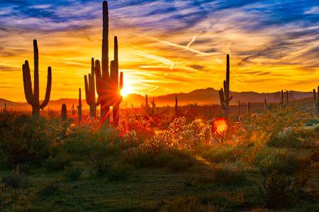 피닉스 근처 소노 란 사막에서 석양 saguaros. 스톡 콘텐츠