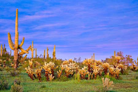 cholla: Chollas at Sunset in Sonoran Desert near Phoenix.