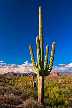 cholla: Sonoran Desert with Saguaros near Phoenix.